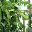 エンドウ豆育ってます