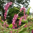 『季節の花』 アカマンマ