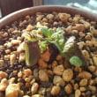 セファロタス 食虫植物12