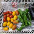 美味しかった焼きトウモロコシ、今度の日曜日はいよいよ夏野菜露地もの市を開催