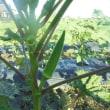 オクラの収穫