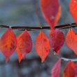 初冬色に紅い灯る午後の森。