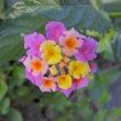 ランタナは花の色を変える可愛い花