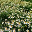 『季節の花』 カモミール