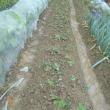 畑の野菜 イチゴ ダイコン ニラ
