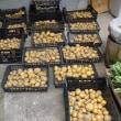 ジャガイモを全て収穫。種芋はキタアカリ8キロ、その15倍ほどの収穫量…