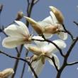軽井沢のいろいろ  軽井沢は辛夷(こぶし)の花盛り・・