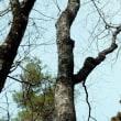 シナノキの樹皮 短冊状に剥離