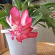 蟹葉シャボテンという花