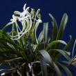 富貴蘭「羽衣」の花