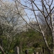 梨の花、ジューンベリー満開