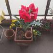 アマリリスの花言葉は輝くほどの美しさ