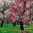 咲き誇る梅たち(府中市「郷土の森」の梅園)