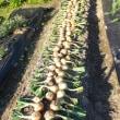 さぁ~タマネギ種まき。今年1番の収穫だったタキイのアトンと長期保存のきくこがねを…