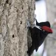 今日の鳥 クマゲラ ヤマゲラ 今日は道路脇に来まして1枚目を除きノ-トリミングです。
