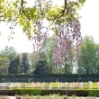 藤とサツキ、満開。神代植物公園