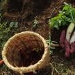 ダイコンとサツマイモ収穫