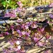 瓦の乗せの土塀とてんれい河津桜 (波切・大慈寺)