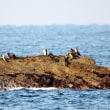 11/14探鳥記録写真-2(狩尾岬の鳥たち:ジョウビタキ、イソヒヨドリ、ホオジロ)