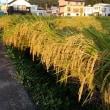 お米の季節