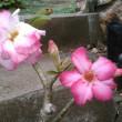 同じ株に2種類の花が        追記です