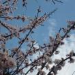 桜の前に…あんずが咲いてきました o(*^▽^*)o~♪