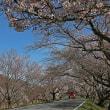 サクラ咲く・一宮市木曽川堤 10