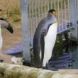 王様ペンギンの換羽before-after