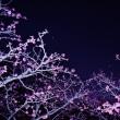 今治市ののまうまハイランドの河津桜と星天のコラボ