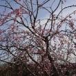 父を思い出す枝垂れ桜