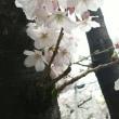 ちょっとゆっくりな桜
