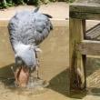 ハシビロコウの水浴び@アサンテ
