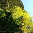 モミジの新緑とオオデマリ