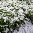 千両に雪(花庭にて)
