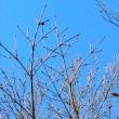 林縁のヤマボウシの枝先に冬芽が見える