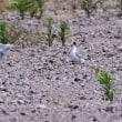 今日の野鳥   コアジサシの子育て奮闘記