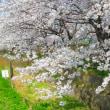 桜満開・平和町須ケ谷川沿い