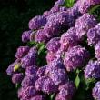 2018.庭の紫陽花