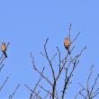 今日の野鳥  ベニマシコ ・ カワセミ ・ カワラヒワ
