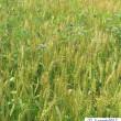 アー雨が続く、豊作なのに麦刈りが…泣、じねん道・三種の神器の一つ?踏み脱穀機、緊急出動!!