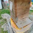 日本ミツバチがやってこない