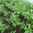 やっと葉物がーコマツナとシュンギクの収穫