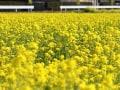 満開の菜の花畑