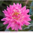 ダリア 〈品種:不明 ピンク色の花〉