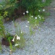 夏の花 白