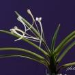富貴蘭「蟷螂(カマキリ)」の花