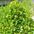 野辺に咲くキンポウゲ(金鳳花)の花