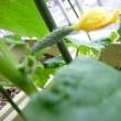 ベランダ菜園初収穫