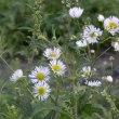 道ばたにヘラバヒメジョオンの花が元気に咲いて