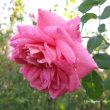 ピンク系花色のイングリッシュローズ2017年8月〜10月
